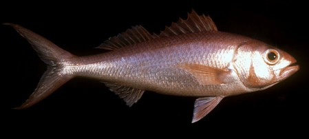 Snapper - Long Tail Red