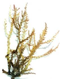 Spiny Sea Plant