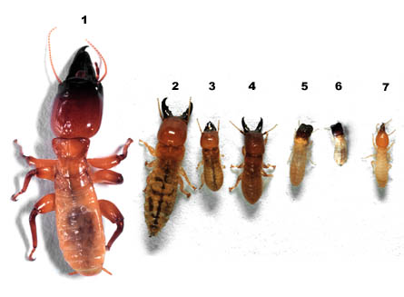 Queen Ant Size Comparison Termite Soldier...