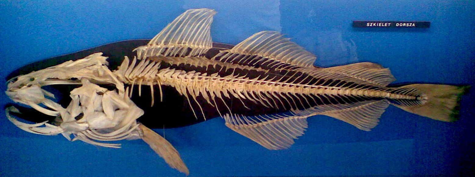 <p><strong>Fig. 4.50. (A)</strong> The skeleton of a cod fish</p>