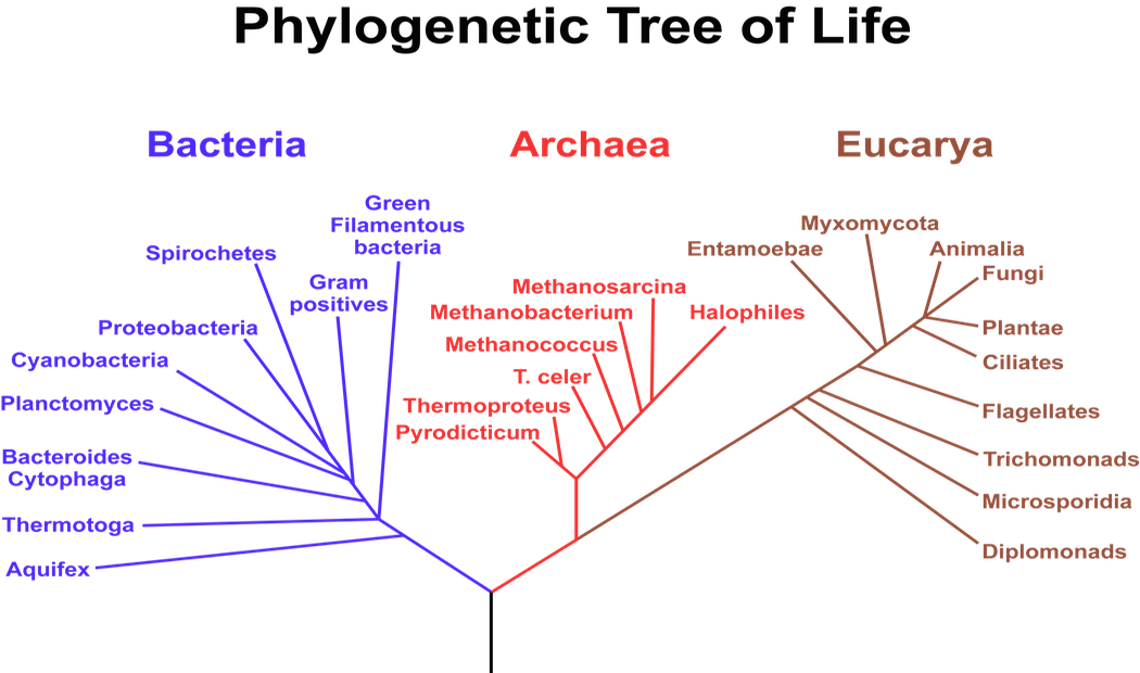 <p><strong>Fig. 1.16.</strong> This phylogenetic tree of life shows the three domains, which make up all of life on Earth. The length of the branches on phylogenetic trees represents evolutionary time.</p>