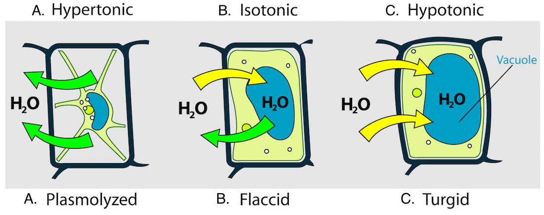<p><strong>Fig. 2.13.</strong> Diagram showing plant cell walls (black line), cell membranes (green lines), and relative amount of water (blue ovals) inside the cell. The arrows show the direction of water moving in (yellow) and out (green) of a plant cell placed in these environmental conditions: (<strong>A</strong>) hypertonic, (<strong>B</strong>) isotonic, and (<strong>C</strong>) hypotonic solutions. The movement of water into or out of these plant cells cause (<strong>A</strong>) plasmolyzed (shrunken), (<strong>B</strong>) flaccid (wilted), and (<strong>C</strong>) turgid (firm) cell conditions.</p>