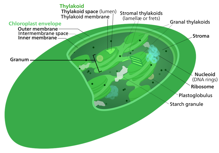<p><strong>Fig. 2.15.</strong> Diagram of a chloroplast</p>