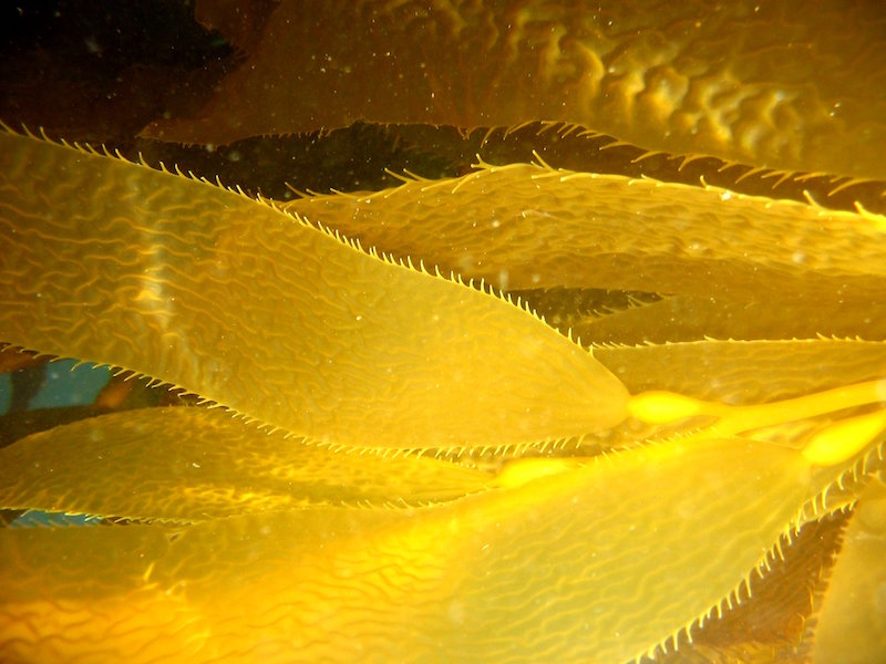 <p><strong>Fig. 2.21.</strong>&nbsp;(<strong>B</strong>) Giant Kelp, <em>Macrocystis pyrifera</em>, blades</p>