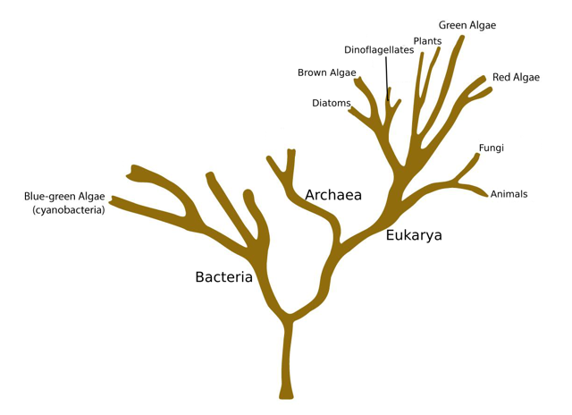 <p><strong>Fig. 2.4.</strong> The tree of life showing placement of the algae groups within the domains Bacteria and Eukarya.</p>