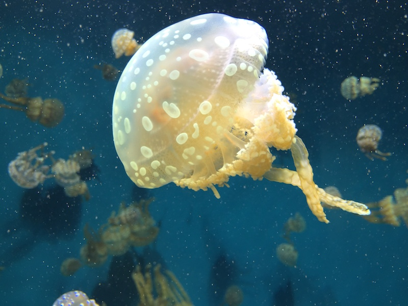 <p><strong>Fig. 3.25.</strong>&nbsp;(<strong>C</strong>) Jellyfish</p>