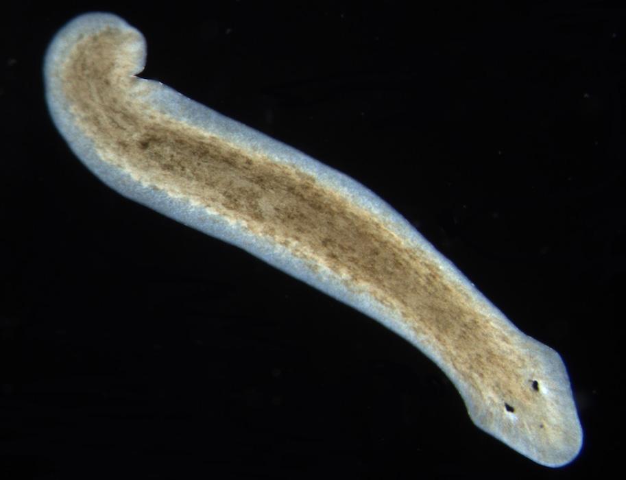 <p><strong>Fig. 3.36.</strong>&nbsp;(<strong>E</strong>) Freshwater planarian flatworm <em>Dugesia subtentaculata</em></p>
