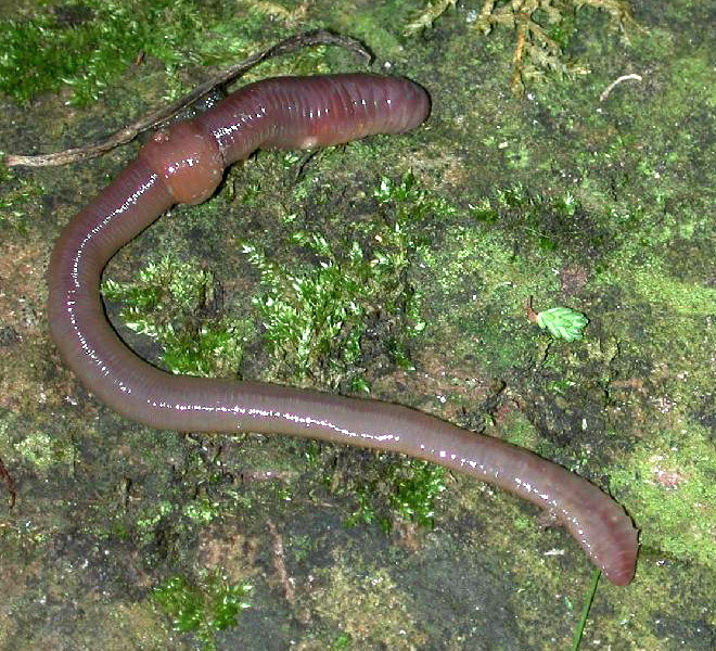 <p><strong>Fig. 3.43.</strong> (<strong>A</strong>) Oligochaete; a species of Asian earthworm <em>Amynthas</em> sp.</p>