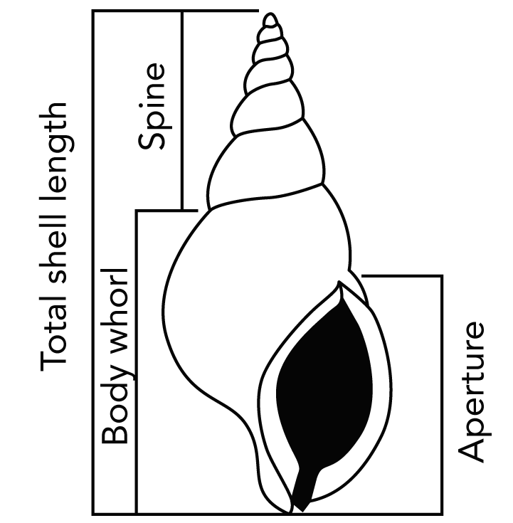 <p><strong>Fig. 3.56.3.</strong> Gastropod shell measurements</p>