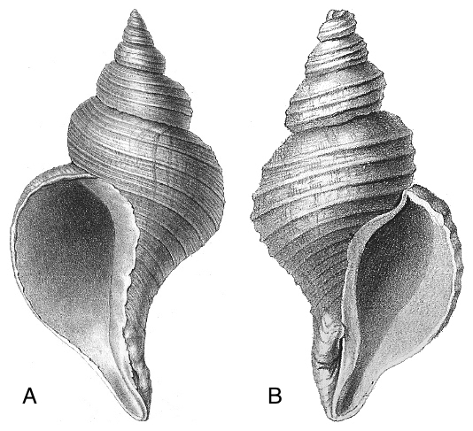 """<p><span style=""""font-size: 13.008px;""""><strong>Fig. 3.56.5.</strong> Gastropod shell with apex up and aperture facing the observer. Note the apertures that open to (<strong>A</strong>) the left and <strong>(B</strong>) the right.</span></p>"""