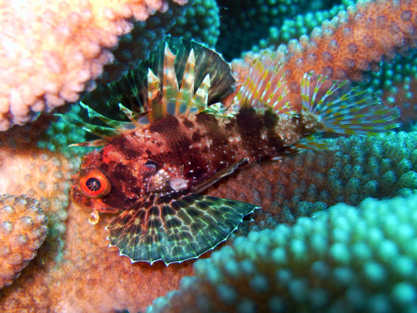 <p><strong>Fig. 4.22</strong><strong>.(</strong><strong>B)</strong> The dorsal fin of a lionfish has spines and poison for protection</p>