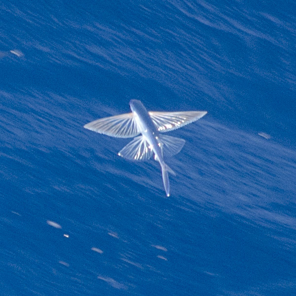 <p><strong>Fig. 4.26. (A)</strong> Flying fish with highly specialized pectoral and pelvic fins for flying</p>