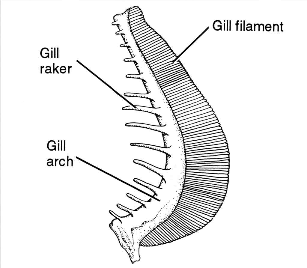 <p><strong>(C)</strong> A drawing of a gill showing gill filaments (oxygen absorption), gill arch (supporting structure), and gill rakers (comb like structure for filtering)</p>