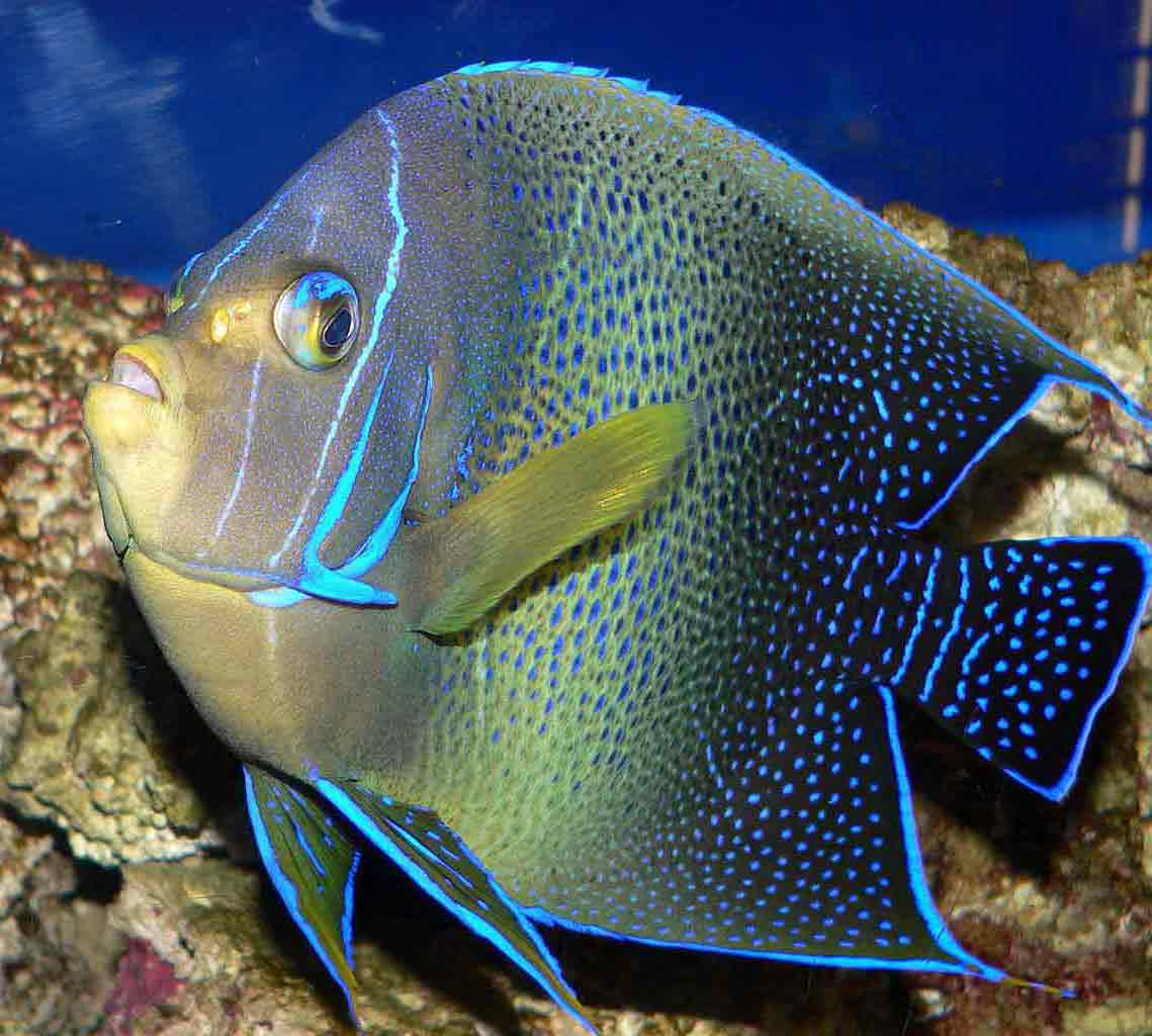 <p><strong>Fig. 4.38. (A)</strong> A semicircle angelfish (Pomacanthus semicirculatus) with bright blue highlight color on the preoperculum, preoperculum spine, and operculum</p>