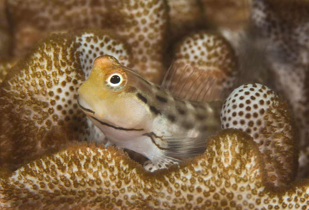 <p><strong>(B)</strong> A blenny hiding in coral</p>