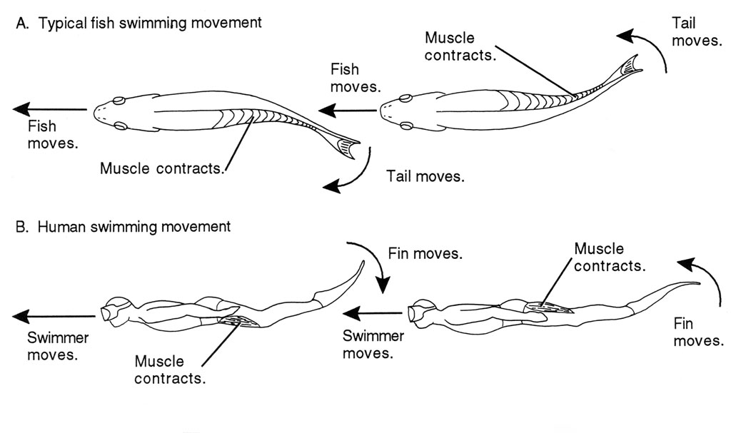 <p><strong>(B)</strong> A drawing contrasting a typical fish swimming movement with the movement of a typical human swimming with dive fins.</p>