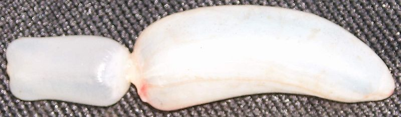 <p><strong>(B)</strong> Gas bladder from a Ruddy fish (Scardinius erythrophthalmus)</p>