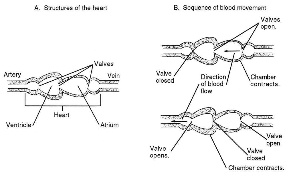 <p><strong>Fig. 4.60.</strong> Contraction of heart muscles moves blood through the system.</p>