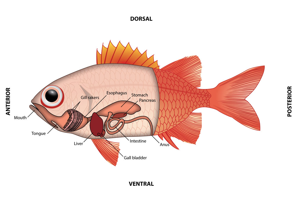<p><strong>Fig. 4.63.</strong> The digestive system of a fish</p>