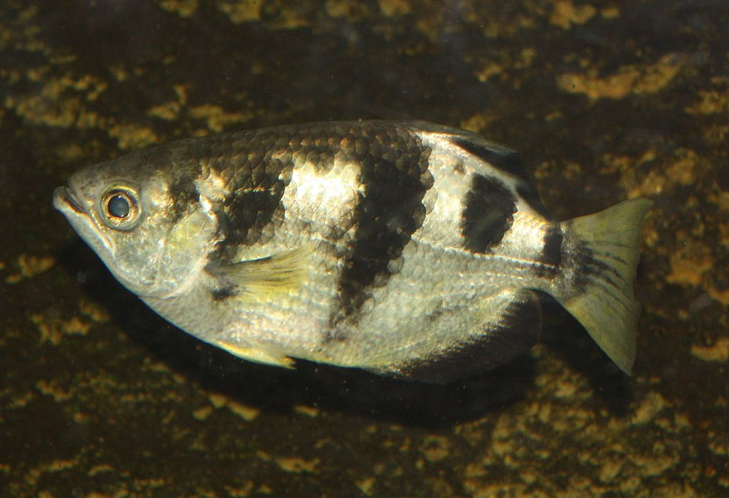 <p><strong>Fig. 4.66. (A)</strong> an Archer fish (Toxotes microlepis) feeds by shooting fish with streams of water and can bring down insects up to 3 m above the water's surface.</p>