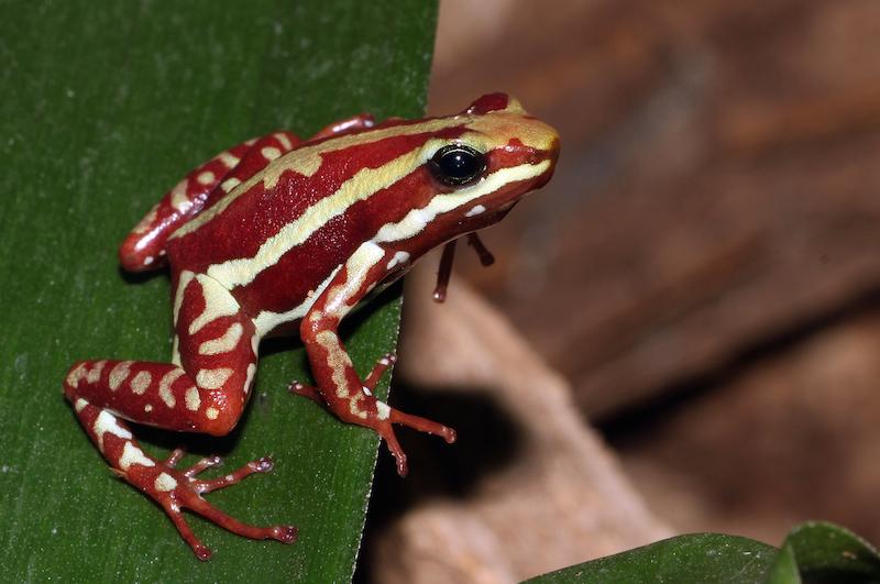<p><strong>Fig. 5.11.</strong>&nbsp;(<strong>D</strong>) Phantasmal poison frog (<em>Epipedobates tricolor</em>)</p>