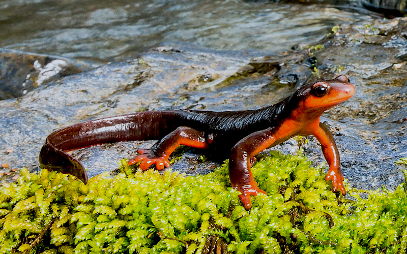 <p><strong>Fig. 5.14.</strong> (<strong>A</strong>) Red-bellied newt (<em>Taricha rivularis</em>), northern California</p>