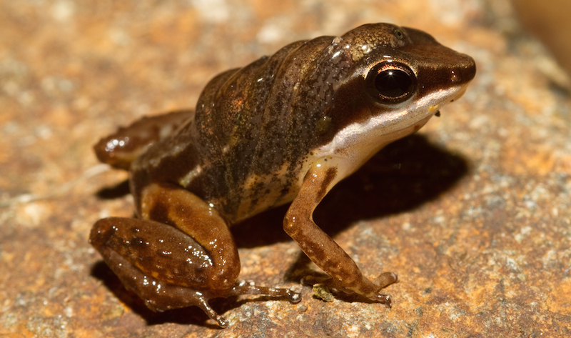 <p><strong>Fig. 5.17.</strong> (<strong>C</strong>) All poison dart frog species carry newly-hatched tadpoles on their backs. Adults deposit the tadpoles into small streams and water pools for further development.</p>