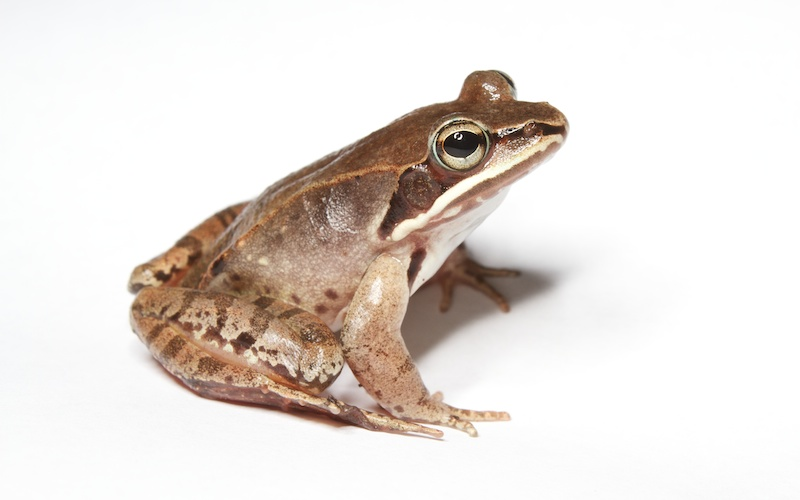 <p><strong>Fig. 5.18.</strong>&nbsp;(<strong>E</strong>) Wood frog (<em>Lithobates sylvaticus</em>) adult</p>