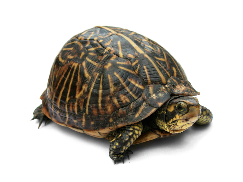 <p><strong>Fig. 5.21.</strong> (<strong>A</strong>) Florida box turtle (<em>Terrapene carolina bauri</em>)</p>