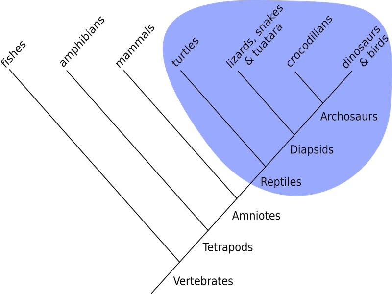 <p><strong>Fig. 5.22.</strong>&nbsp;(<strong>B</strong>) Phylogenetic tree illustrating the evolutionary relationships among different reptile groups (shaded in blue)</p>
