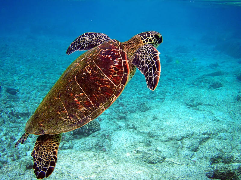 <p><strong>Fig. 5.24.</strong> (<strong>A</strong>) Green sea turtle (<em>Chelonia mydas</em>), Keauhou, Island of Hawai'i</p>