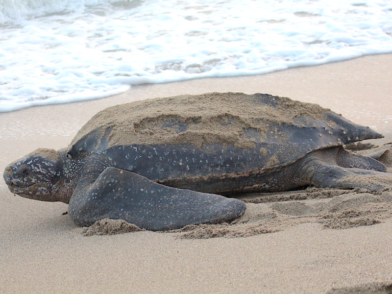 <p><strong>Fig. 5.24.</strong> (<strong>D</strong>) Leatherback sea turtle (<em>Dermochelys coriacea</em>), Trinidad</p>