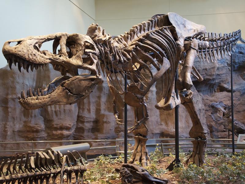 <p><strong>Fig. 5.28.</strong>&nbsp;(<strong>B</strong>) Replica fossil skeleton of <em>Tyrannosaurus rex</em>, a dinosaur</p>
