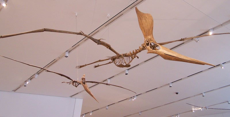 <p><strong>Fig. 5.28.</strong>&nbsp;(<strong>C</strong>) Replica fossil skeletons of <em>Geosternbergia</em> sp., a flying pterosaur related to dinosaurs</p>