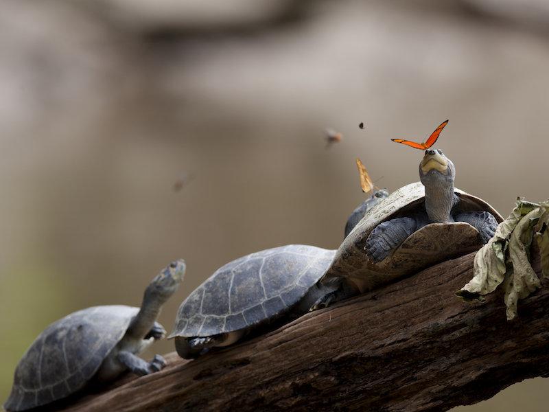 <p><strong>Fig. 5.2.</strong>&nbsp;(<strong>B</strong>) Arrau River turtles (<em>Podocnemis expansa</em>), examples of reptiles, Ecuador</p>
