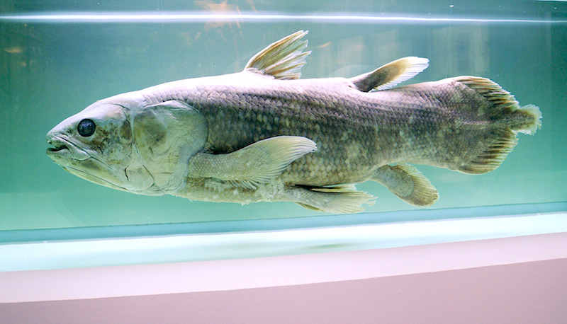 <p><strong>Fig. 5.4.</strong> (<strong>A</strong>) West Indian ocean coelacanth (<em>Latimeria chalumnae</em>)</p>