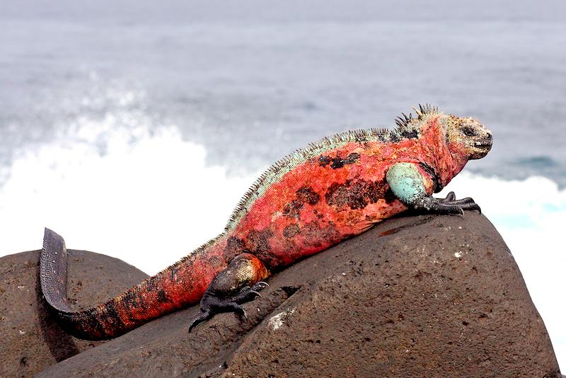 <p><strong>Fig. 5.6.</strong> (<strong>A</strong>) Marine iguana (<em>Amblyrhynchus cristatus</em>), Española Island, Galápagos Islands</p>