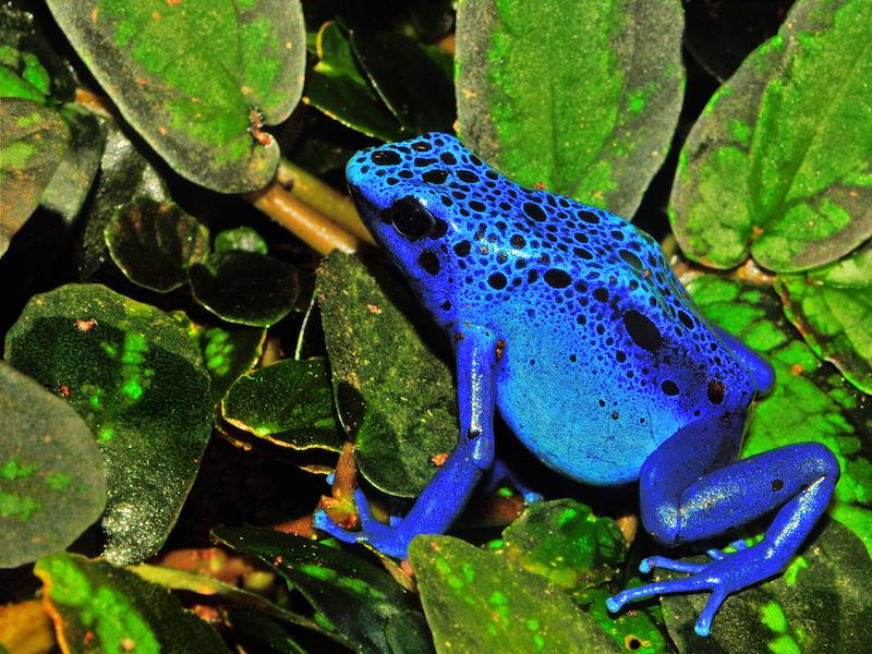 <p><strong>Fig. 5.7.</strong>&nbsp;(<strong>C</strong>) Blue poison dart frog (<em>Dendrobates azureus</em>)</p>
