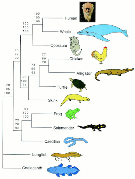 <p><strong>Fig. 5.8.</strong> Phylogenetic tree illustrating the evolutionary relationships among the three major amphibian groups</p>