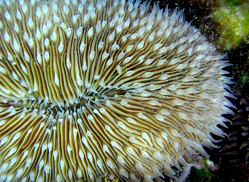 <p><strong>SF Fig. 3.5.</strong>&nbsp;(<strong>B</strong>) Mushroom coral (<em>Fungia</em> sp.)</p>