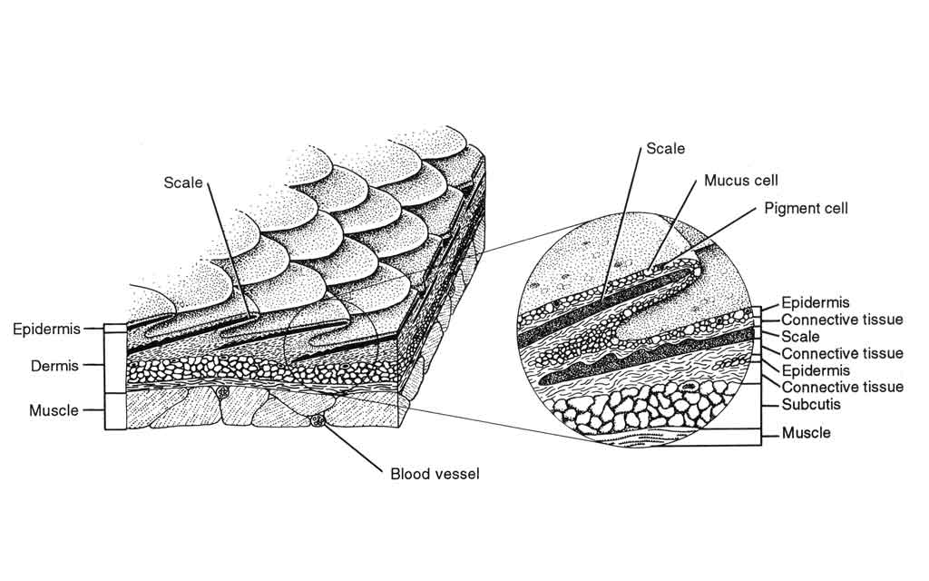 <p><strong>(B) </strong>A drawing of the skin and integumentary system of a fish, showing scales, epidermis, dermis, and muscle</p>