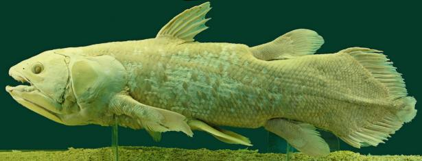 <p><strong>Fig. 1.10.1.</strong> Preserved specimen of West Indian ocean coelacanth (<em>Latimera chalumnae</em>), Vienna Natural History Museum, Austria</p><br />