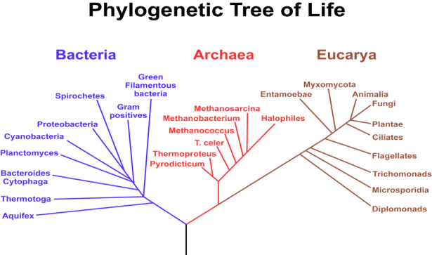 <p><strong>Fig. 1.16.</strong> This phylogenetic tree of life shows the three domains, which make up all of life on Earth. The length of the branches on phylogenetic trees represents evolutionary time.</p><br />