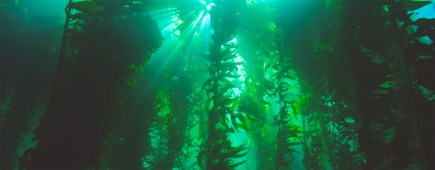 <p><strong>Fig. 2.1.</strong> Kelp forest dominated by the brown macroalga <em>Macrocystis pyrifera</em> or giant kelp</p><br />