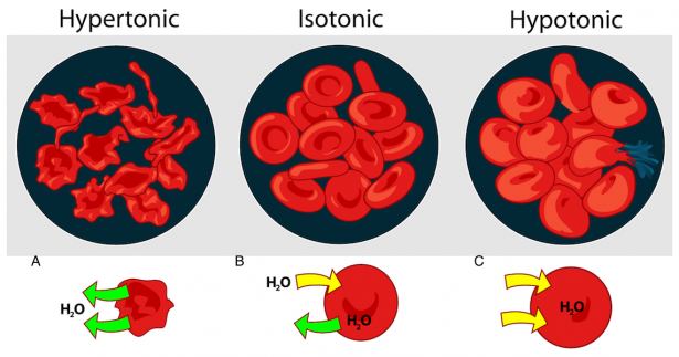 <p><strong>Fig. 2.12.</strong> Water moves out of (green arrows) or into (yellow arrows) a blood cell, depending on the concentration of solutes in the environment: (<strong>A</strong>) hypertonic, (<strong>B</strong>) isotonic, and (<strong>C</strong>) hypotonic solutions.</p><br />