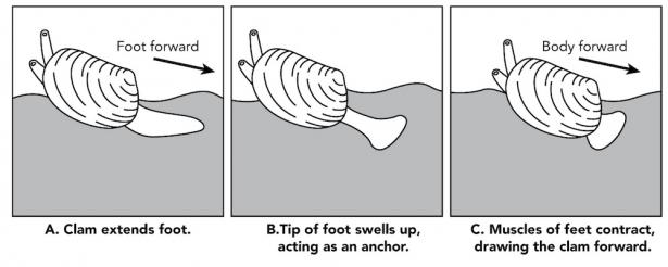 <p><strong>Fig. 3.62.</strong> A clam using its foot to move</p><br />