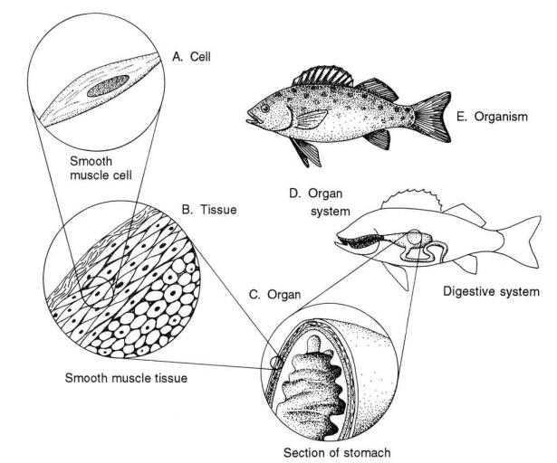 <p><strong>Fig. 4.48.</strong> Organization of structures in living organisms</p><br />