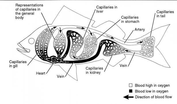 <p><strong>Fig. 4.59.</strong> Schematic of a fish's circulatory system, showing only the major systems. All parts of the body are served by arteries, capillaries, and veins.</p><br />