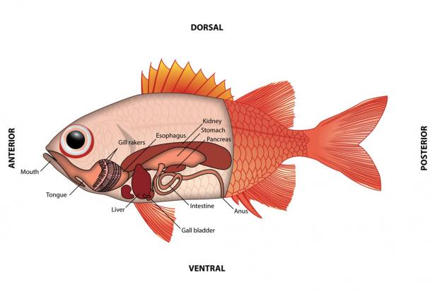 <p><strong>Fig. 4.64.</strong> Internal anatomy of a fish showing the digestive organs.</p><br />