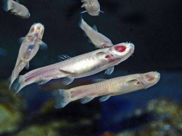 <p><strong>Fig. 4.79. </strong>Phreatichthys andruzzii is one of many colorless and eyeless fish species broadly described as cavefish; they are missing eyes, which allows the red flesh beneath to show through</p><br />